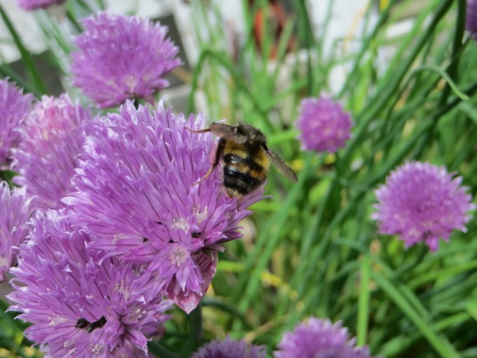 Bees love to visit purple chive flowers & there is always a pot in the greenhouse when the tomato blossoms appear