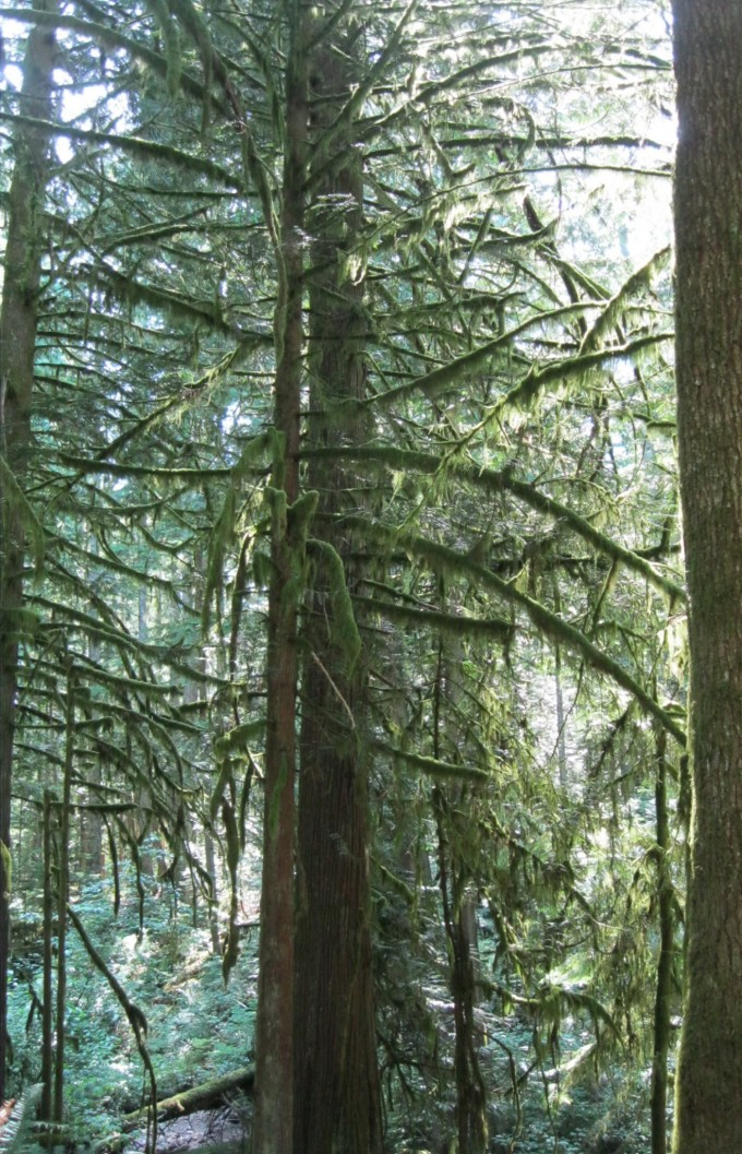 Old growth trees - West Coast