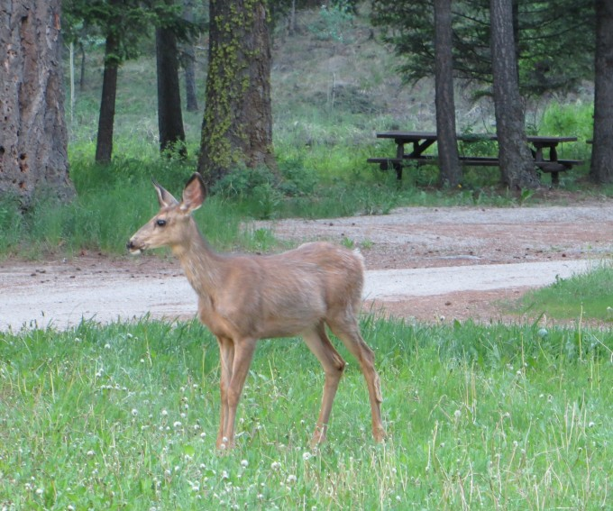 Deer willing to share their wilderness with us