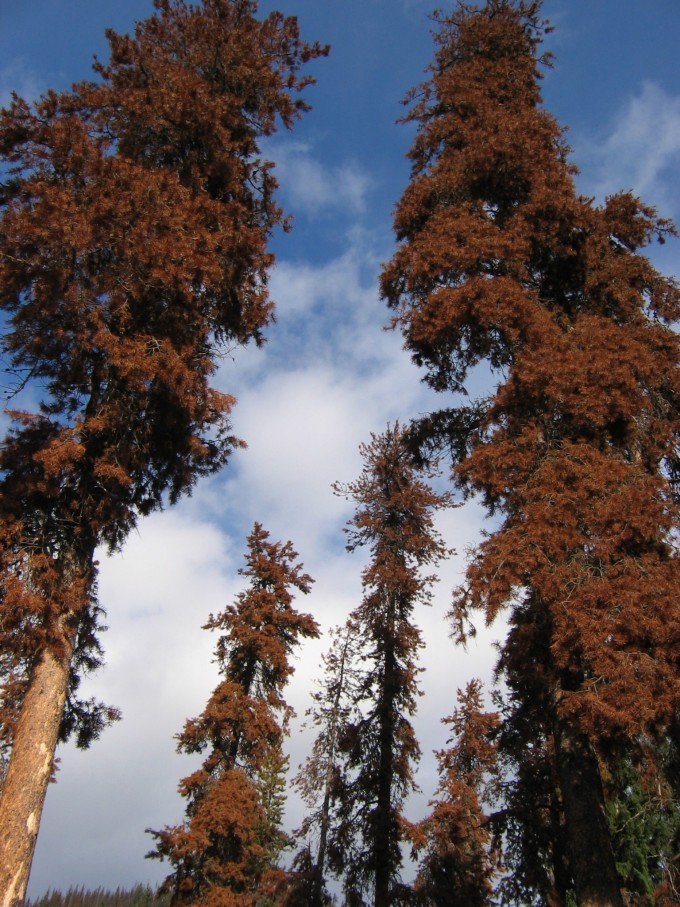 Once mighty trees ~ manning Park beetle kill