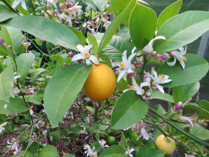 After a few weeks planted in the garden the lemon tree broke into new growth and an abundance of flowers