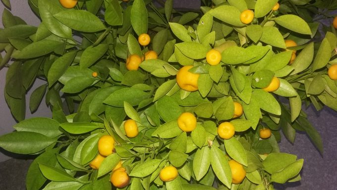 Our new kumquat provides abundant small fruits which make a unique & tasty marmalade
