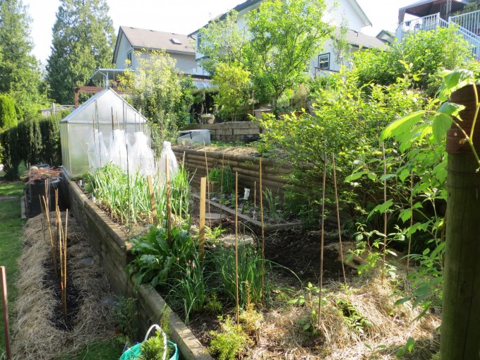 Hay mulch in the spring on tomato transplants, new raspberry bushes and strawberry plants