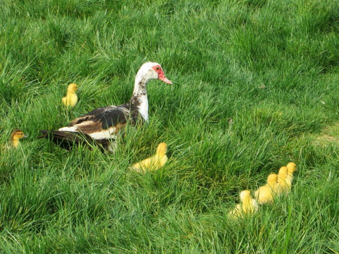 Muscovy duck and ducklings - fun for the kids