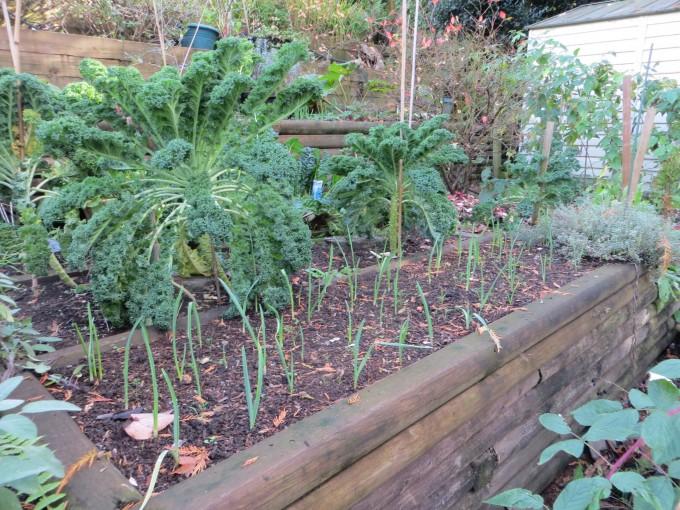 Fall: Kale & chard & next year's garlic