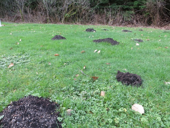 Moles can take up residence over night
