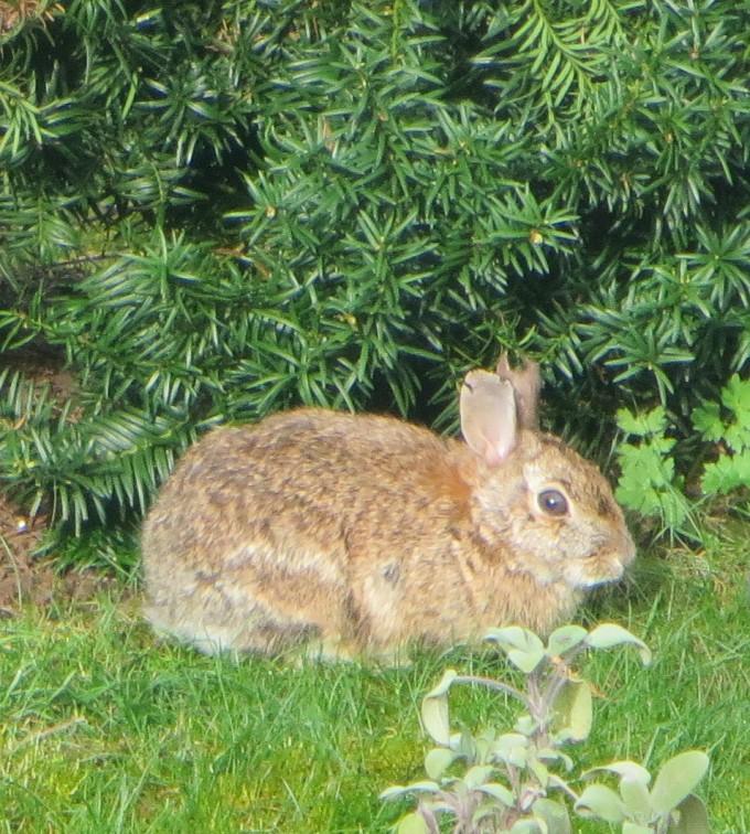 Rabbits visit the yard