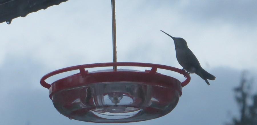 Hummingbirds Over-Winter in B.C.
