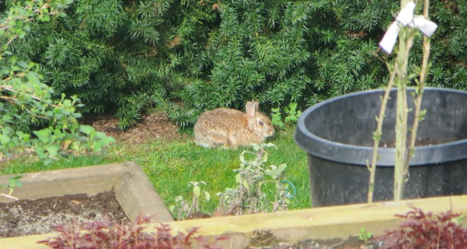 "Our wild ""Peter"" rabbit prefers to eat grass, clover & creeping buttercup to veggies & flower"