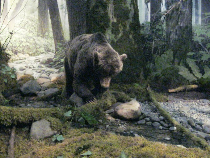 Grizzly Bear - Victoria Museum