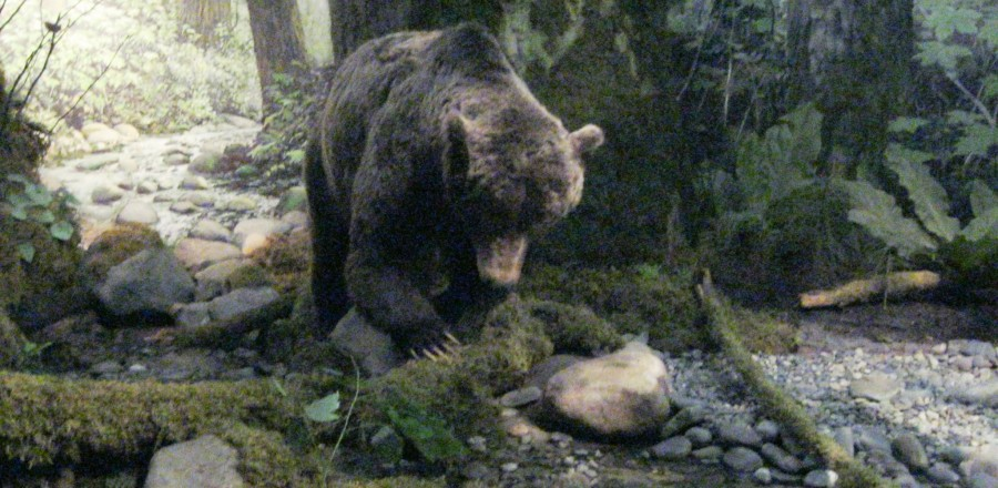 Grizzly Bear – Victoria Museum