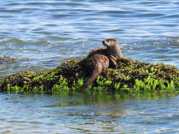 Sea Otters also enjoy fresh crab & shellfish