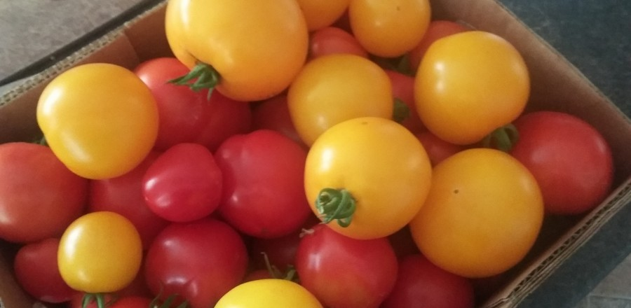 A days pickings of ripe tomatoes