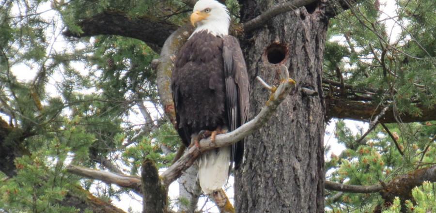 Bald eagle, Spring 2016