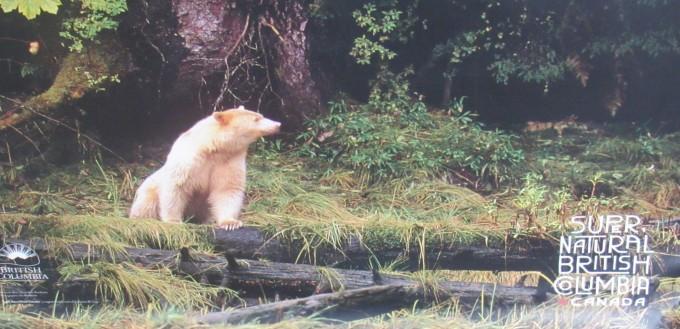 "Kermode Bear (Ursus americanus kermodei) ""Spirit Bear"" Explore BC poster"