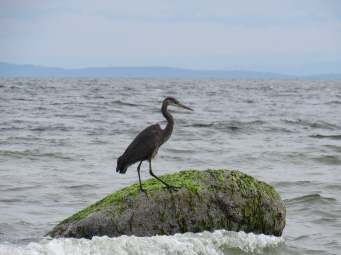 Blue Heron fishing BC coast