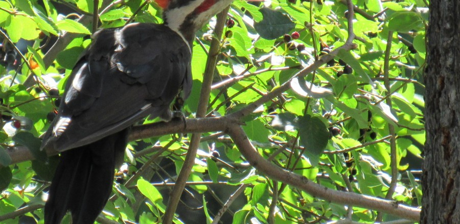 Pileated Woodpecker – Central BC