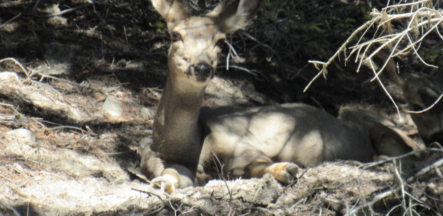 Common Mule deer – B.C.