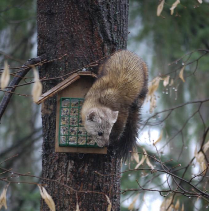Pine Marten - Northern BC