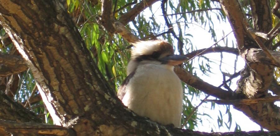 Australian Kookaburra – Halls Gap
