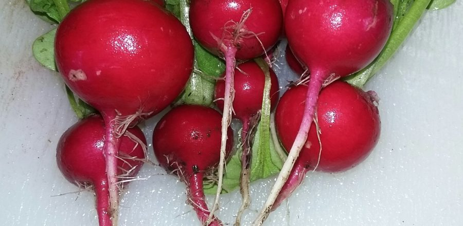 Radish – sweet & juicy