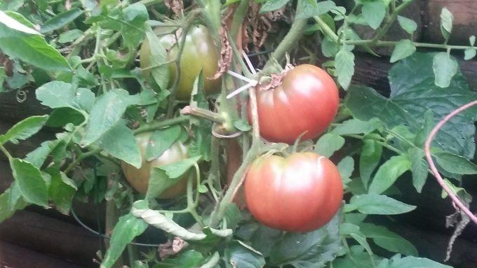 End of Season Tomatoes