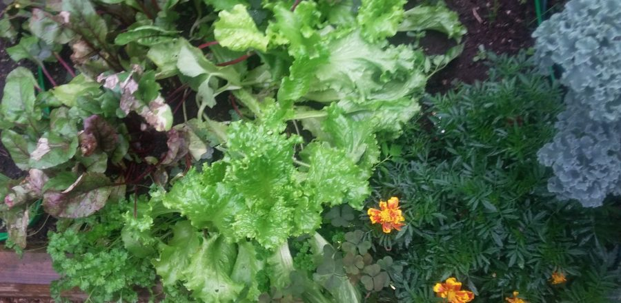 Lettuce & greens for the picking