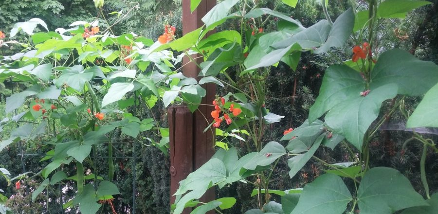 Ripe beans & flowers for the hummingbirds