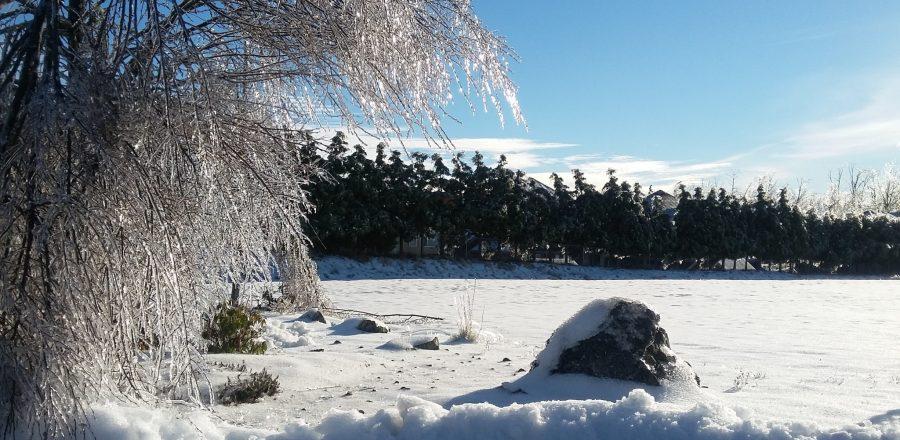 Frozen trees in the sunlight
