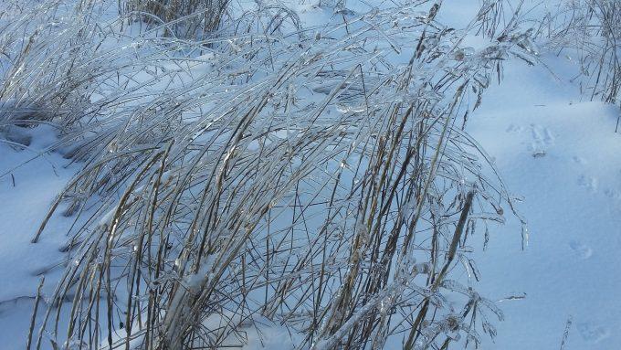 Grasses still standing all frozen