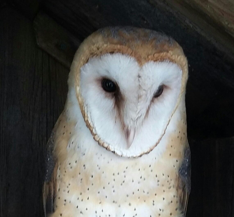 Barn Owl – endangered species