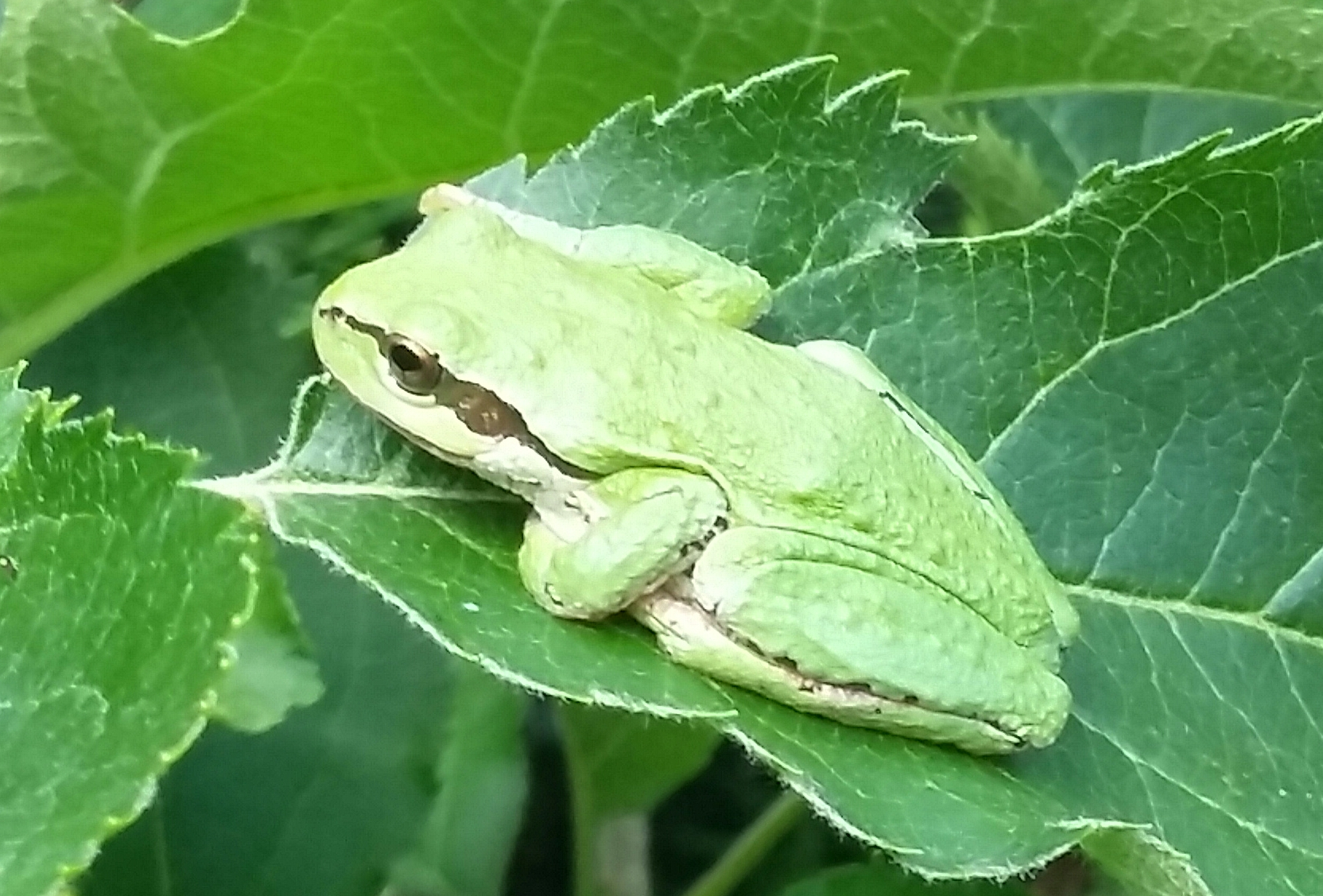 Green Tree Frog – Lower Mainland (unidentified)