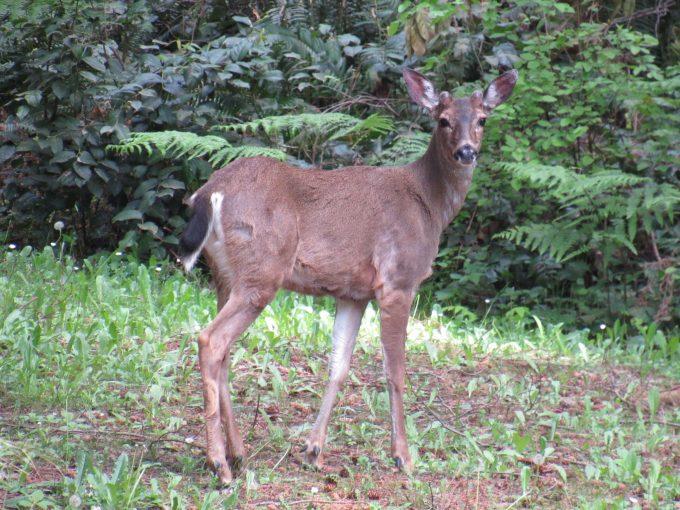 Deer found throughout BC