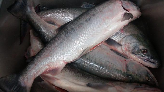 Sockeye salmon - Fraser River 2018
