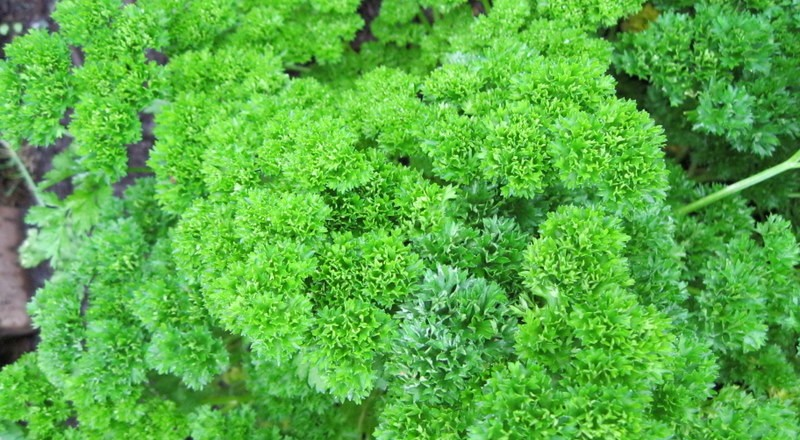 How to Grow Parsley – Persil