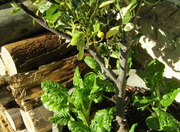 Healthy Swiss Chard – a Year Round Vegetable