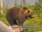 The Challenge of Bears
