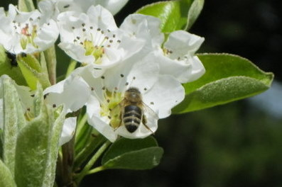 Bee and blossom