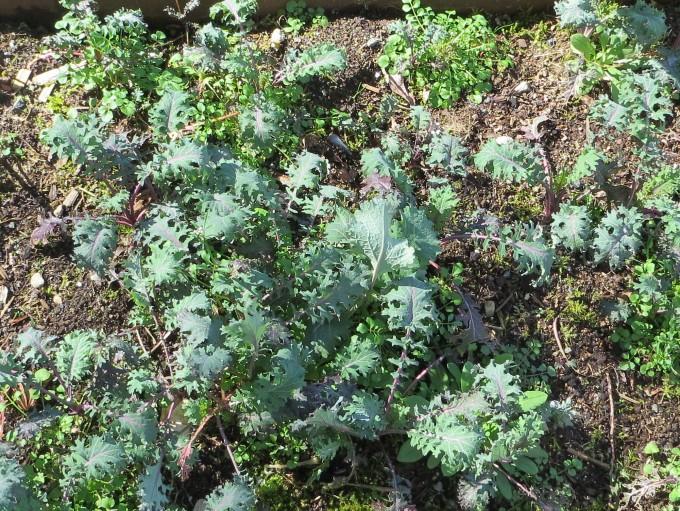 Self sown Kale before transplanting