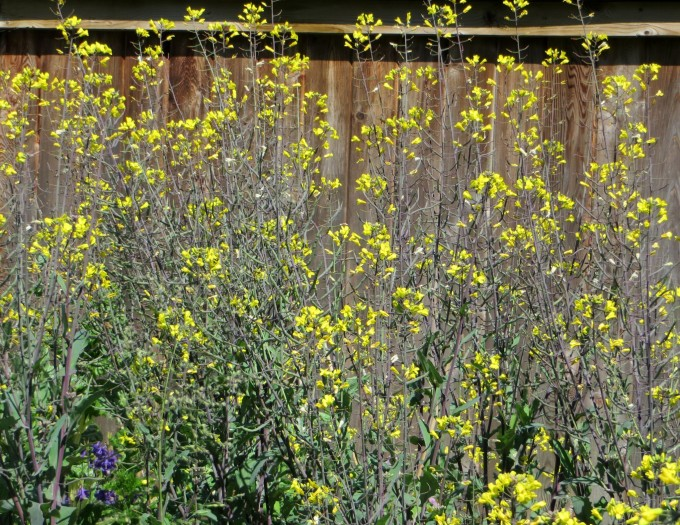 Self sown Russian kale left to flower and seed