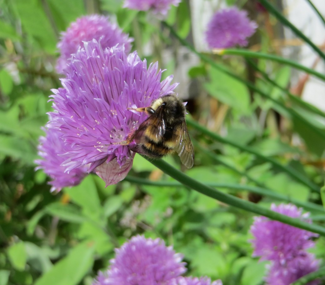 Bees are highly attracted to early spring chive blossoms