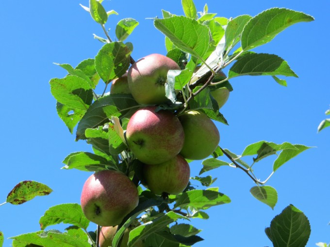 Early apples in home garden
