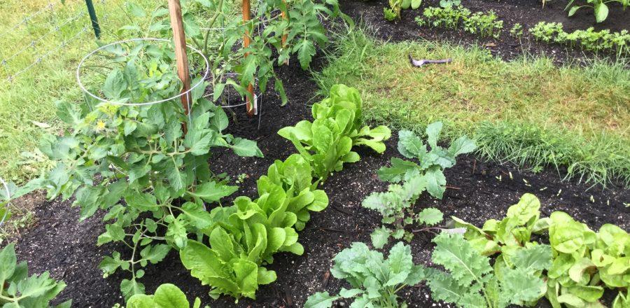 An Amazing First Year Veggie Garden
